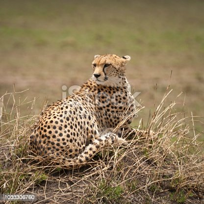 Cheetah lying down resting in the Masai Mara, Kenya, East Africa
