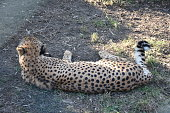 The cheetah, Acinonyx jubatus is a large cat of the subfamily Felinae that occurs in Southern, North and East Africa, and a few localities in Iran.
