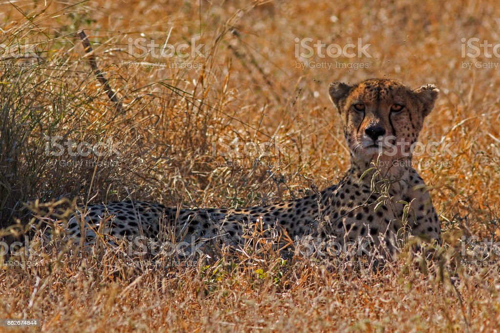 Cheetah lying in the grass stock photo