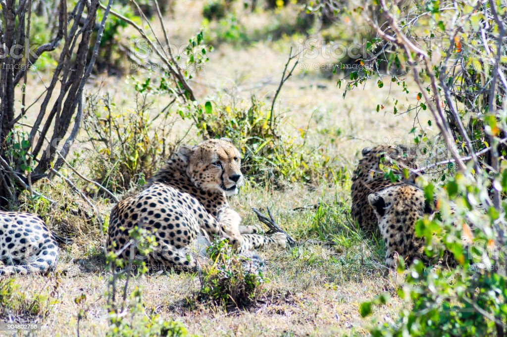 cheetah lying in the shade of a bush in the savannah stock photo