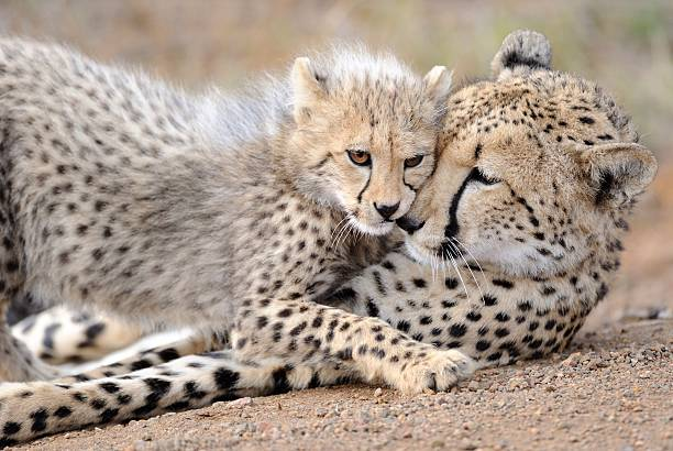 cheetah mom and cub - jachtluipaardwelp stockfoto's en -beelden