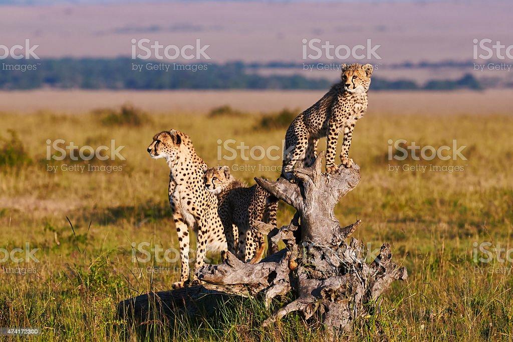 Cheetah mom and cubs stock photo