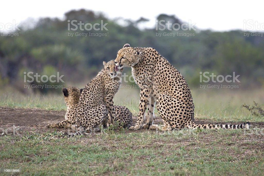 cheetah mom licking her cub royalty-free stock photo