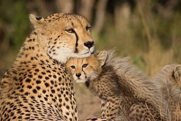 cheetah mother - jachtluipaardwelp stockfoto's en -beelden