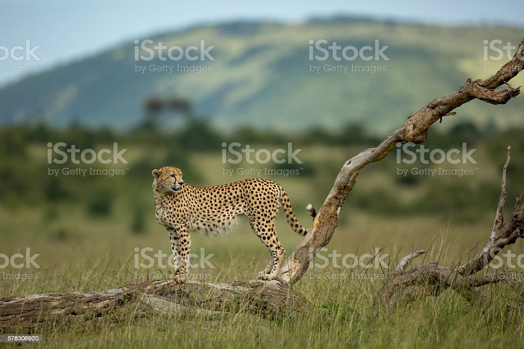 Cheetah on a fallen tree stock photo