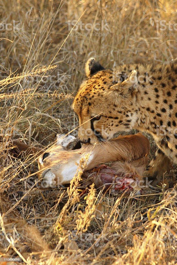 Cheetah on a kill royalty-free stock photo