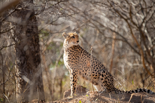 Bir Termit Çita Stok Fotoğraflar & Bir Hayvan'nin Daha Fazla Resimleri