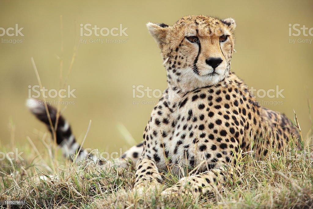 Cheetah on mound stock photo