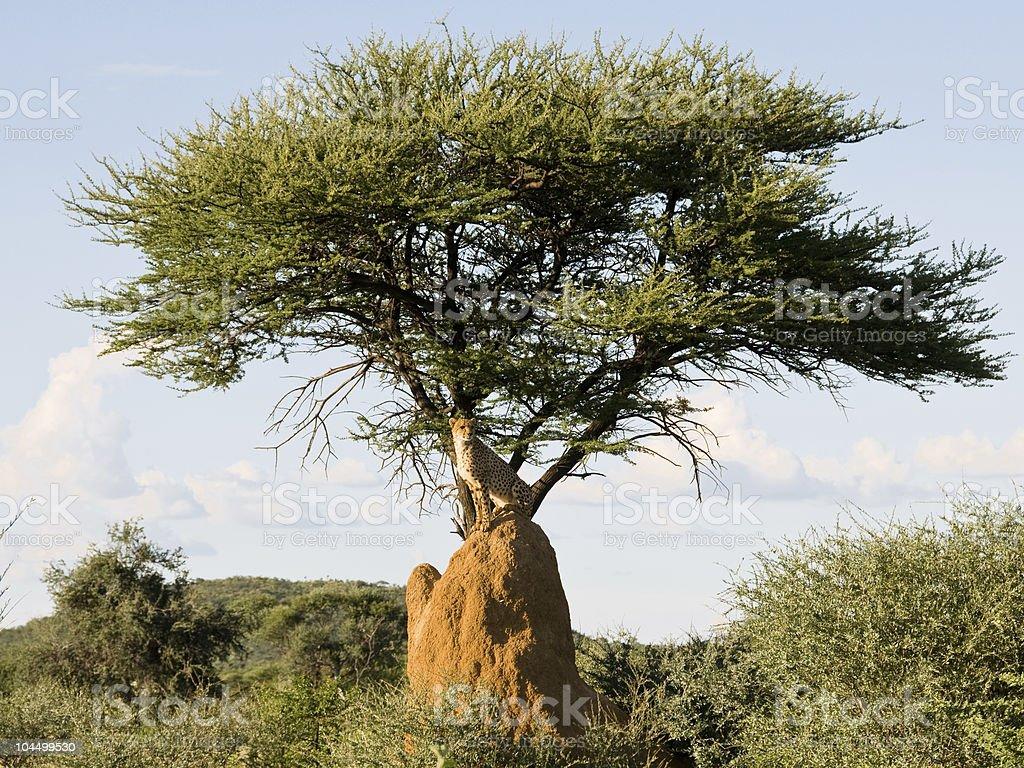Cheetah on mound under tree, Namibia stock photo