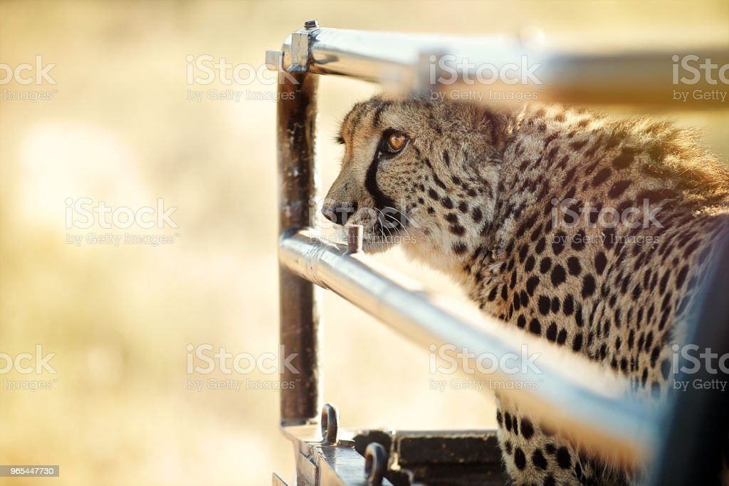 Cheetah on the back of a pick-up truck royalty-free stock photo