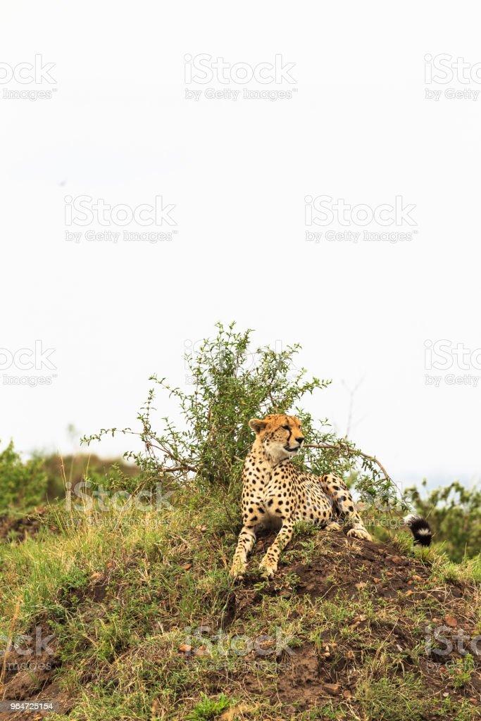 Cheetah on the hill. View  point in savanna. Masai Mara, Kenya royalty-free stock photo
