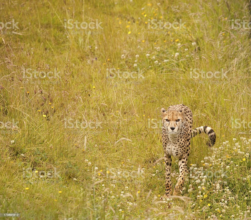 Cheetah on the Hunt stock photo