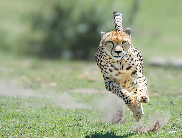 cheetah on the hunt - jachtluipaard stockfoto's en -beelden
