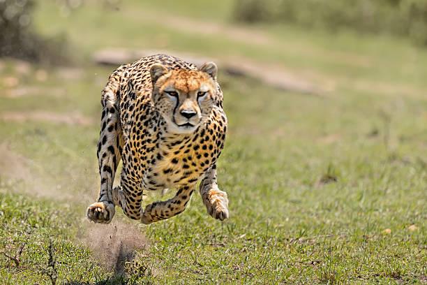 cheetah on the hunt - antilope stockfoto's en -beelden