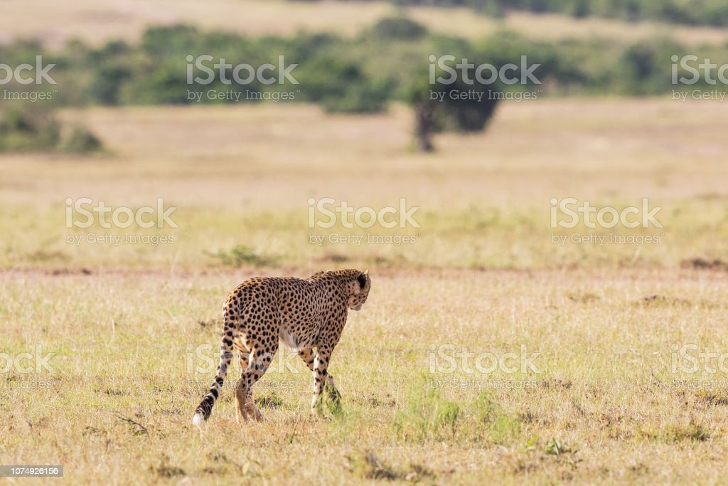 Cheetah on the savanna stock photo