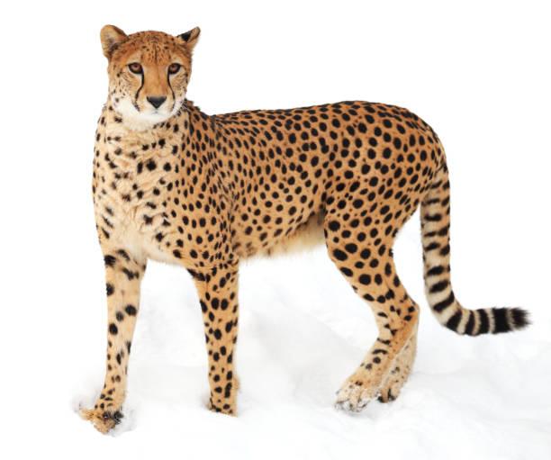 cheetah in de sneeuw - jachtluipaard stockfoto's en -beelden