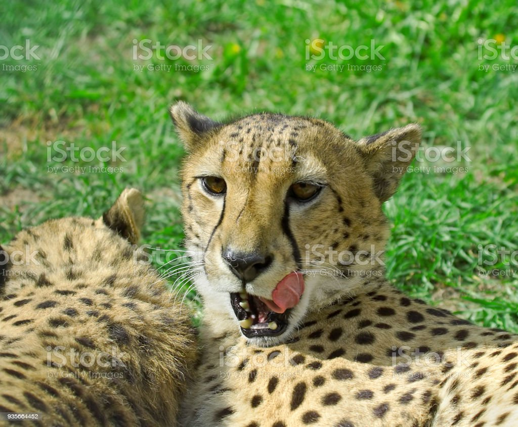 Cheetah over the green grass background stock photo