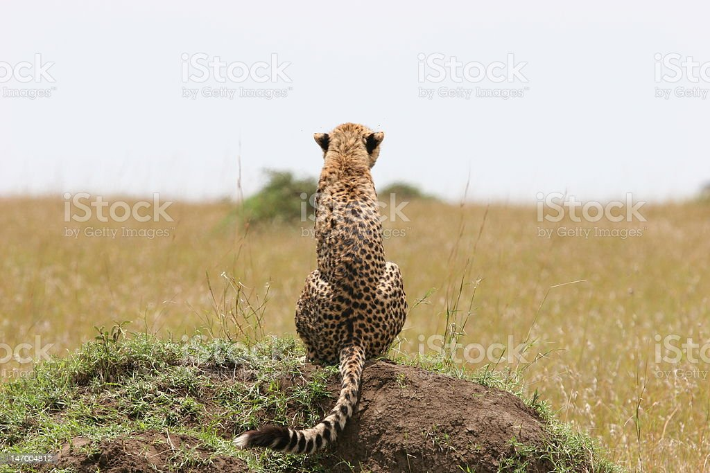 Cheetah philosophize royalty-free stock photo