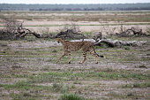 Cheetah with her cub looking around in Etosha National Park