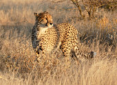Cheetah mother with 3 cubs in Etosha National Park