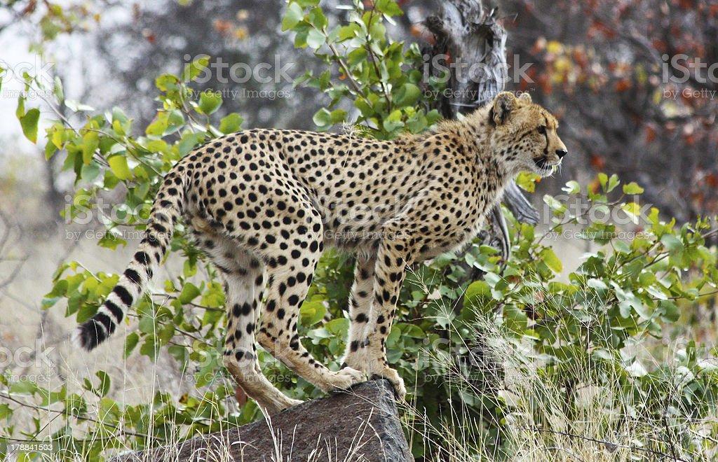 Cheetah (Acinonyx jubatus soemmeringii) royalty-free stock photo