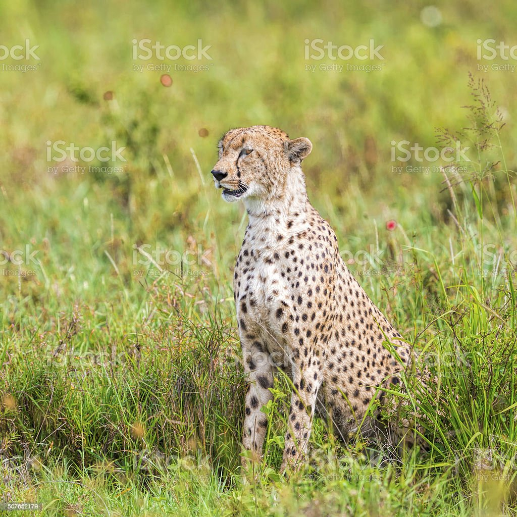 Cheetah stok fotoğrafı