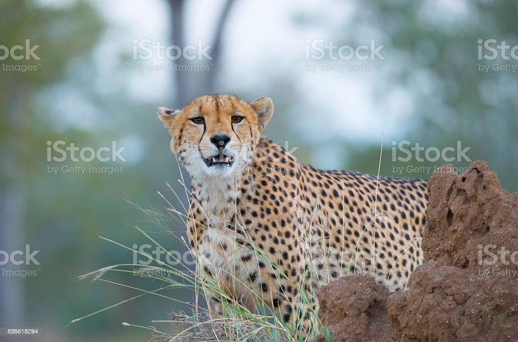 Gepard  – Foto
