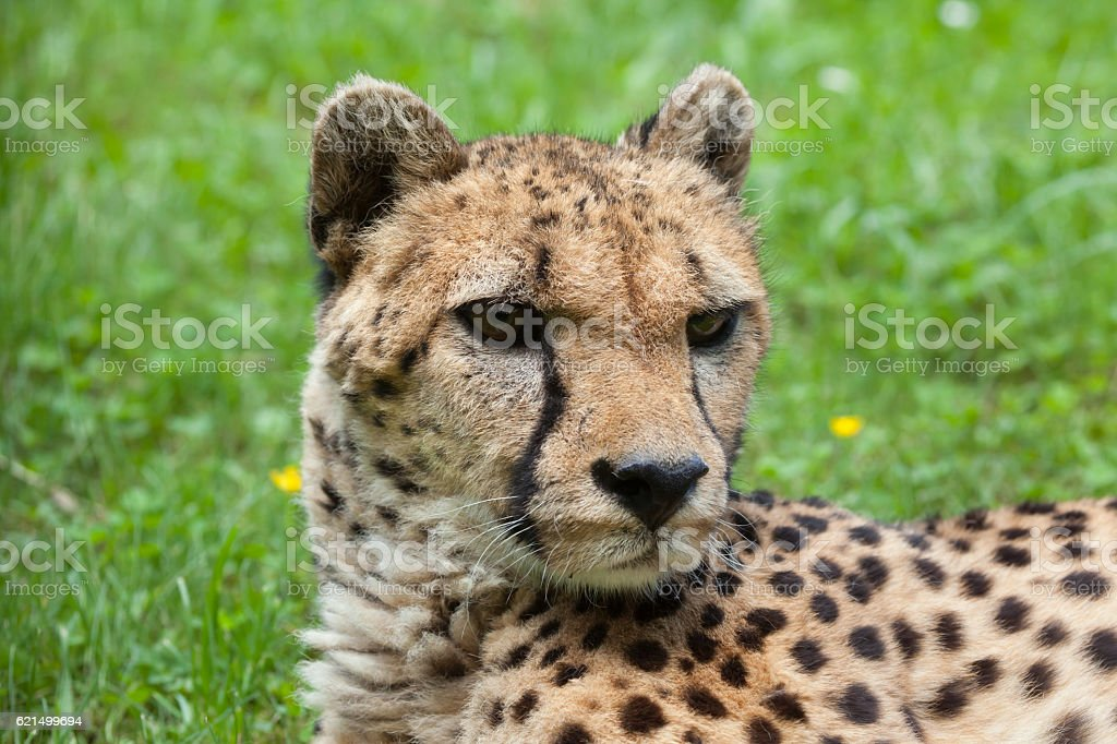 Ghepardo (Acinonyx jubatus). foto stock royalty-free