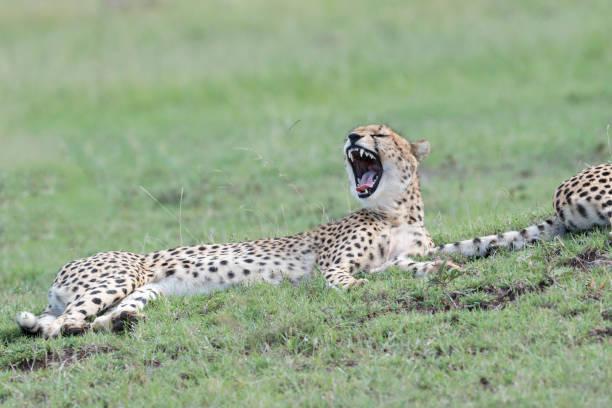 Cheetah (Acinonix jubatus) stock photo