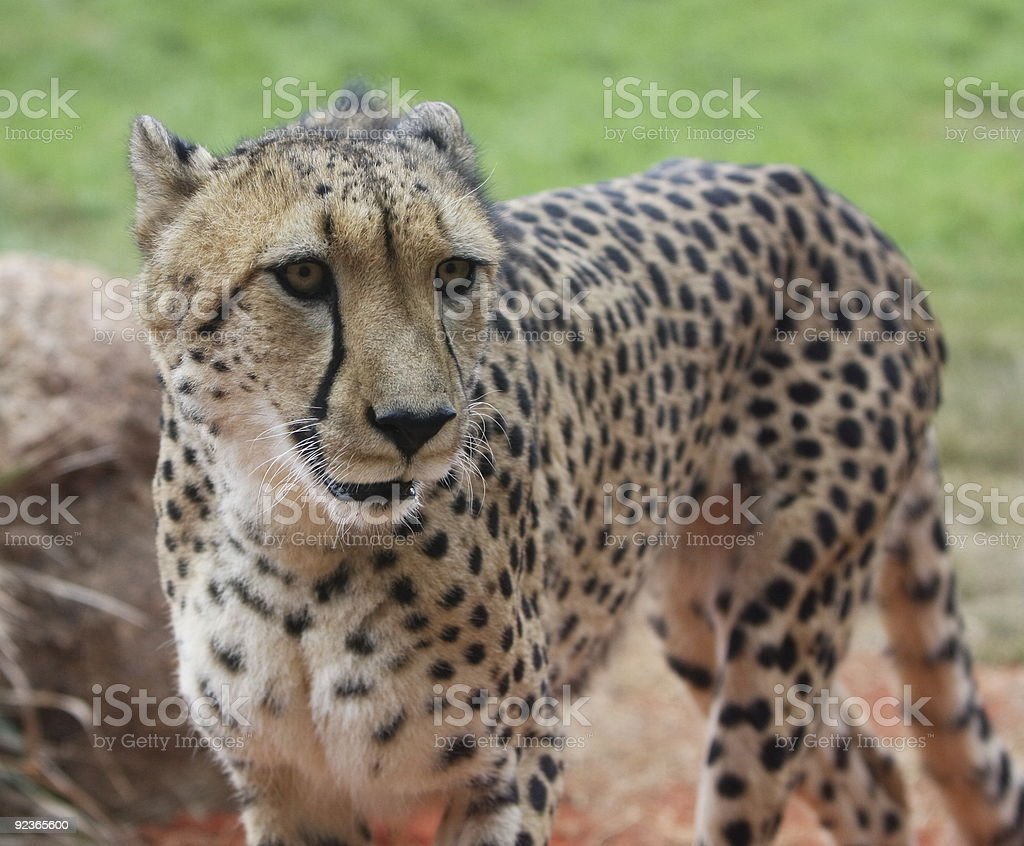 Cheetah royalty-free stock photo