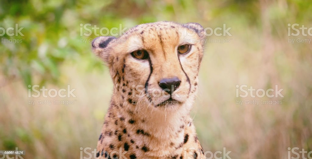 Cheetah portrait close-up royalty-free stock photo