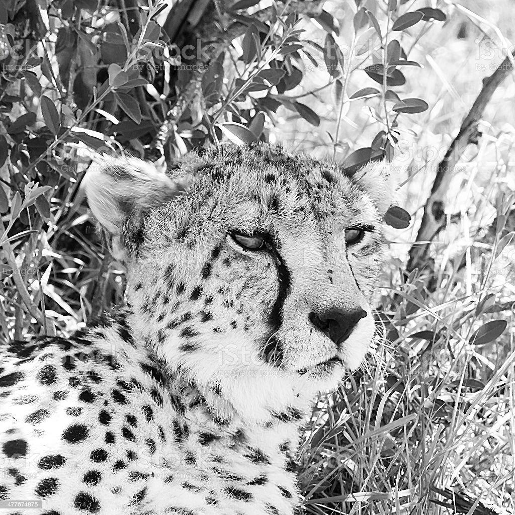 Cheetah - portrait royalty-free stock photo