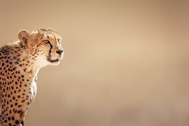 cheetah portrait - jachtluipaard stockfoto's en -beelden