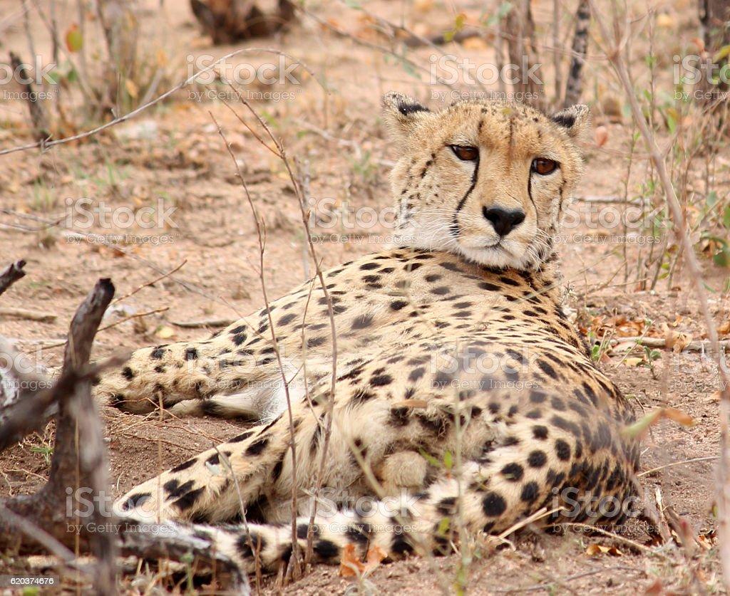 Gepard Portret zbiór zdjęć royalty-free