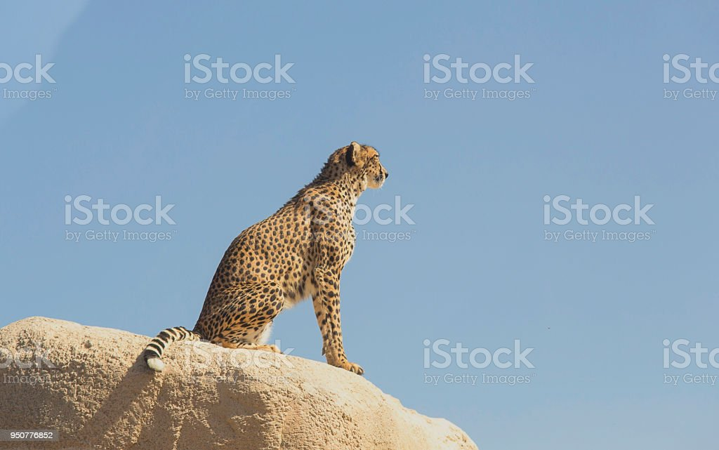 Cheetah posing in a rock stock photo