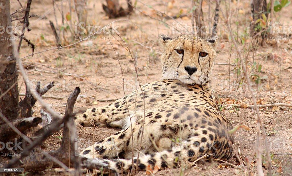Cheetah Potrait foto de stock royalty-free