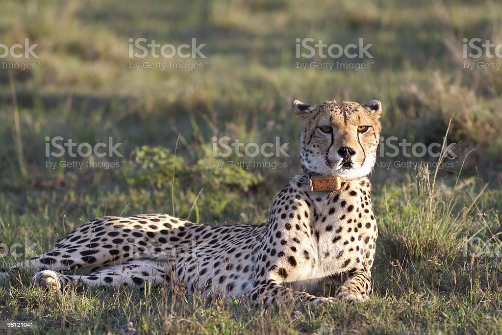 Cheetah relaxes on grassland royalty-free stock photo