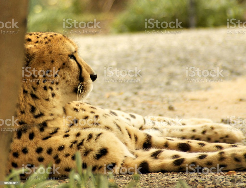 Cheetah Relaxing stock photo