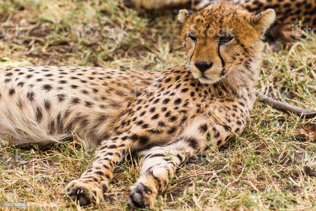 Cheetah resting in the savannah. Masai Mara, Kenya stock photo