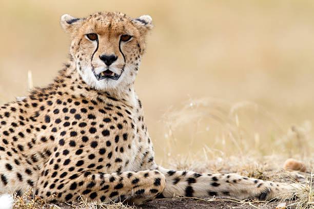 Cheetah resting, Masai Mara Park, Kenya stock photo