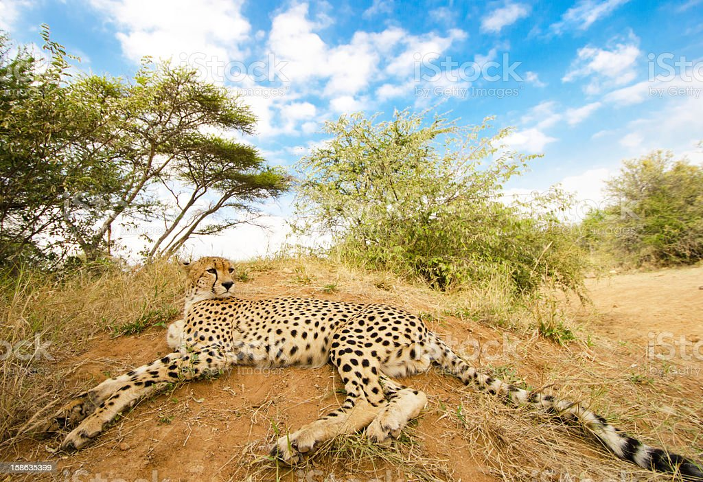 Cheetah Resting - South Africa royalty-free stock photo