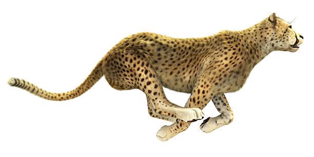 cheetah running isolated - jachtluipaard stockfoto's en -beelden