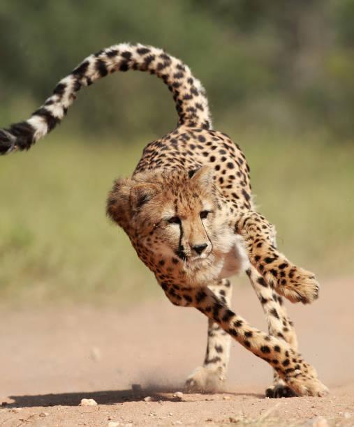 Cheetah Running stock photo