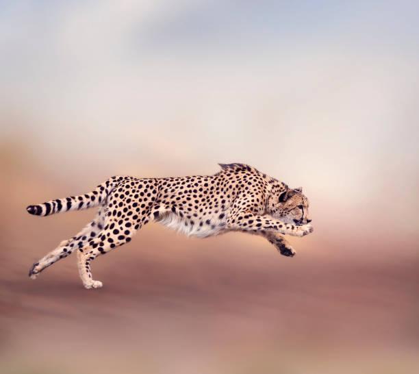 cheetah running - jachtluipaard stockfoto's en -beelden