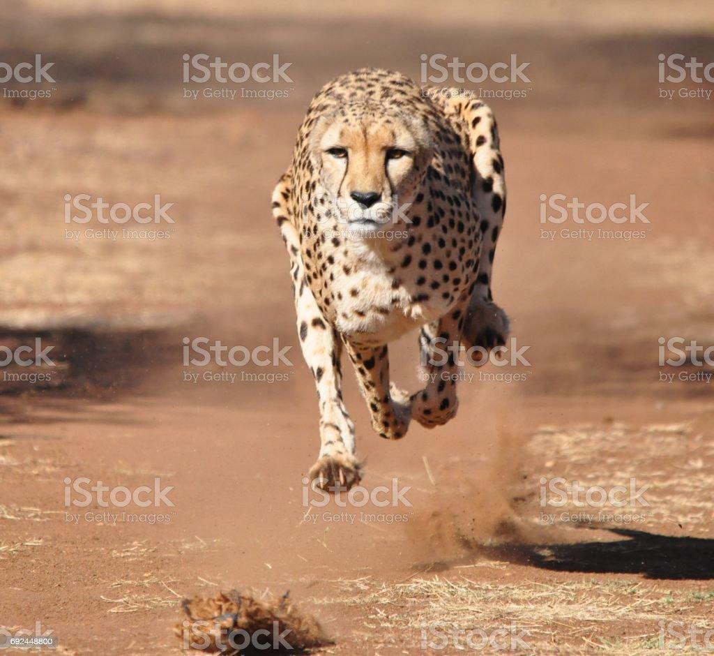 Cheetah de funcionamiento - foto de stock