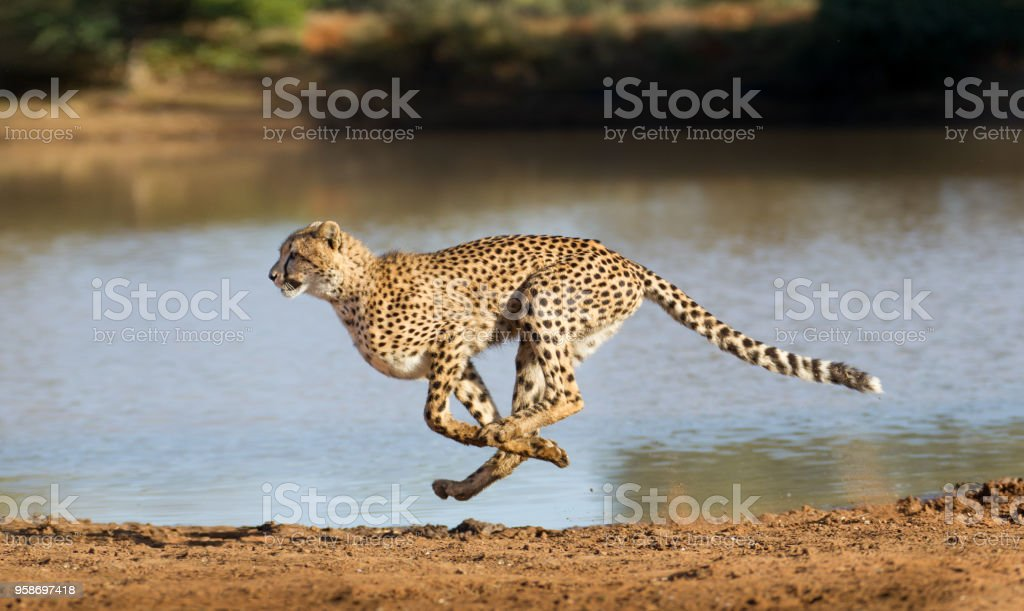 Cheetah atletismo (Acinonyx jubatus), Sudáfrica - foto de stock