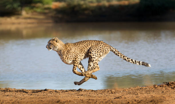 cheetah running, (acinonyx jubatus), south africa - big cat stock pictures, royalty-free photos & images