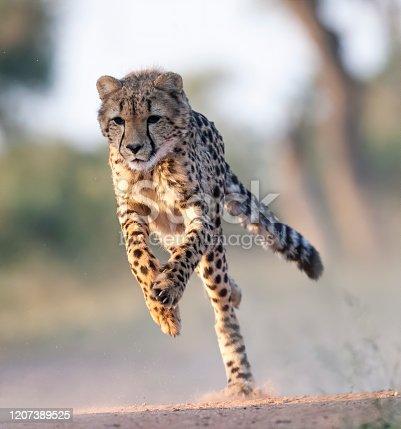 A Cheetah running. Taken in Kenya