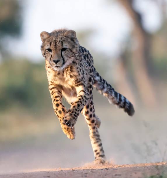 Cheetah Running Stock Photo stock photo