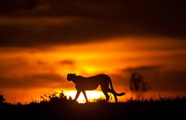 Cheetah silhoette picture id157695027?b=1&k=6&m=157695027&s=612x612&w=0&h=yfduqydbqhxkdwsstaspuwivcoptknx 8ilj2oh pig=